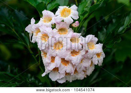 China doll flower