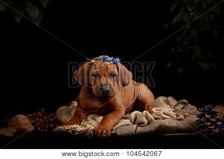 Rhodesian Ridgeback dog resting in front of black background