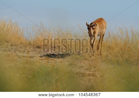 Wild Young Male Saiga Antelope In Kalmykia Steppe