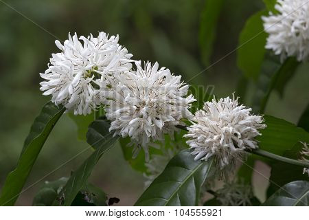 Coffe Tree With Leaves And White Flowers Close Up