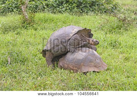 Young Male Tortoise Mounting The Wrong End Of A Female