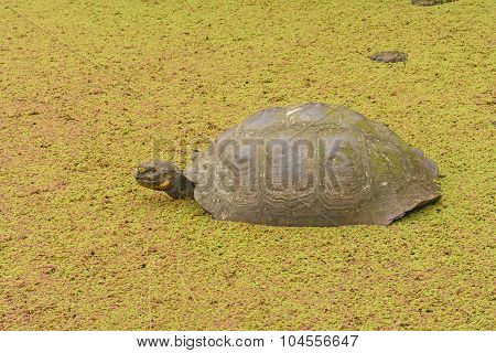 Galapagos Tortoise In A Shallow Pond