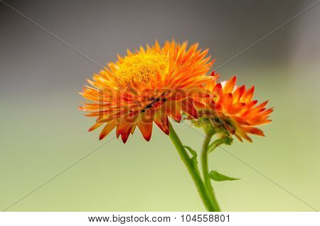 Nature: Chrysanthemum - Stock Image