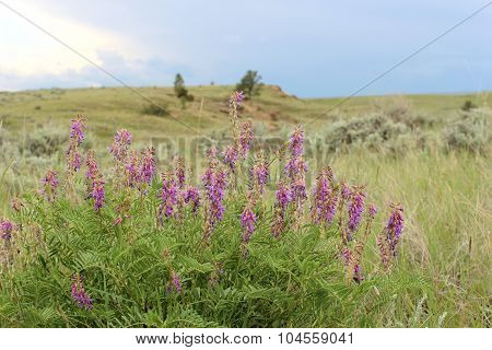 Purple Loco, Oxytopis Lambertii, Prairie Wildflower In The Western United States Of America