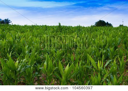 Young corn stalks
