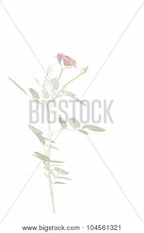 Vintage Style Rose On White