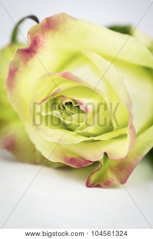 Green Rose Close Up With Copy Space