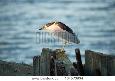 Black-crowned Night-Heron (Nycticorax nycticorax), face-lit