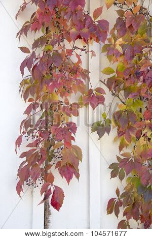 Autumn Leaves - Virginia Creeper