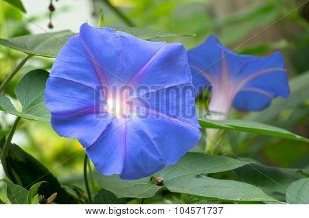 Ipomoea Purpurea In Bloom And Foliage