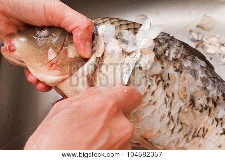 Gutting Of Freshly Caught Fish Carp