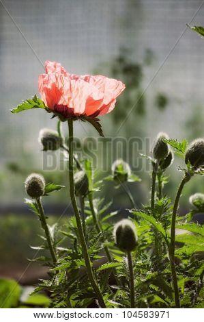 pink summer  flower papaver. outdoor shot