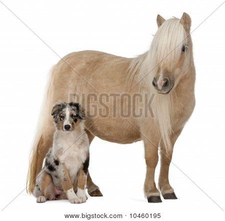 Palomino Shetland Pony, Equus Caballus, 3 años cachorro Pastor viejo y australianas, 4 meses en