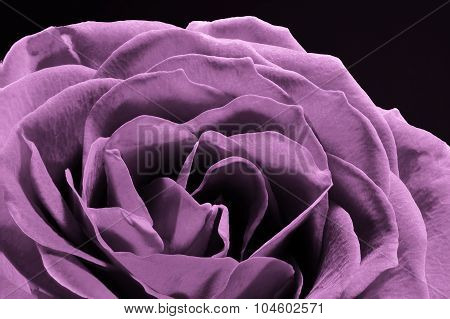 Closse up of unique purple rose