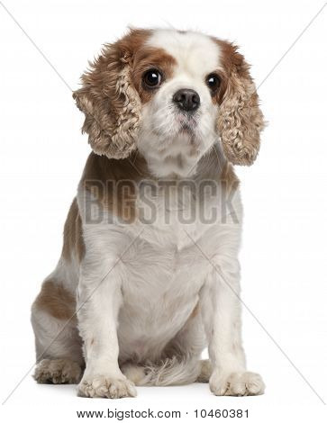 Cross-breed With A Cavalier King Charles Spaniel, 8 Years Old, Sitting In Front Of White Background
