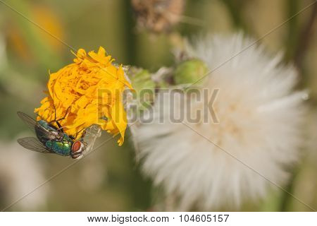 Green Bottle Fly On Dandelion