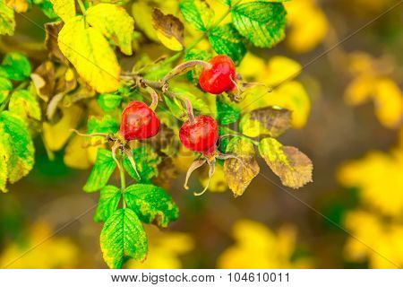 Dog-rose With Red Cankerberry
