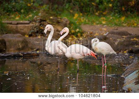 Beautiful American Flamingos