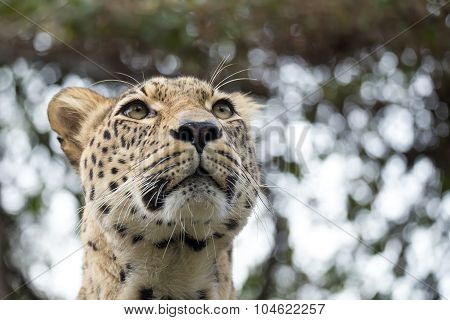 Head Shot Of Persian Leopard