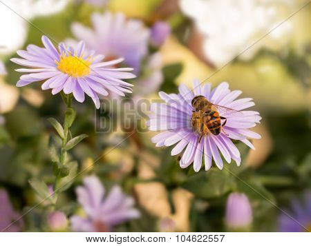 Honey bee on blue New York aster (botanical name: Aster novi-belgii or Symphyotrichum novi-belgii)