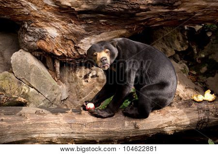 Sun Bear Also Known As A Malaysian Bear