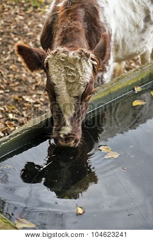Drinking Trough And Cow