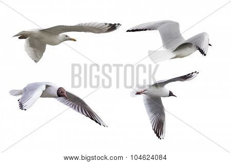 set of gulls isolated on white background