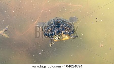 turtle in lake water