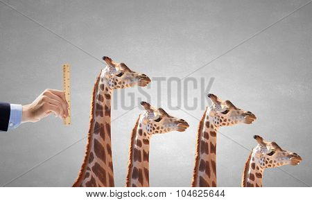 Close up of male hand measuring giraffe with ruler