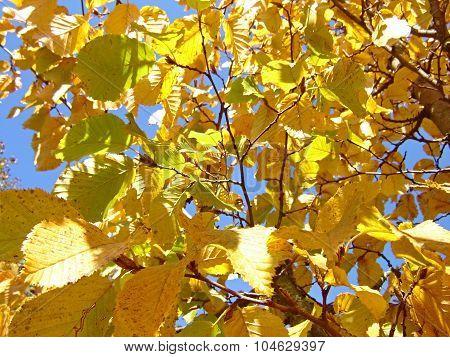 Hornbeam Leaves