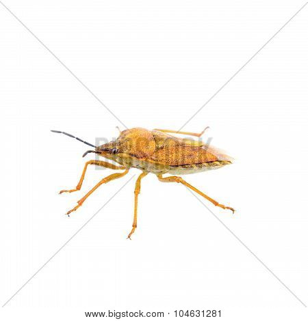 Orange Shield Bug On A White Background
