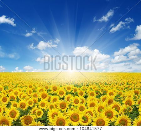 field of sunflowers and sun in the blue sky.