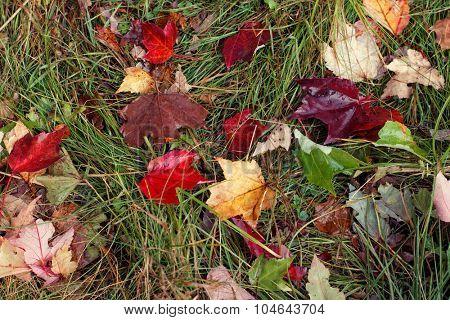 Autumn leaves on green grass. Horizontal shot