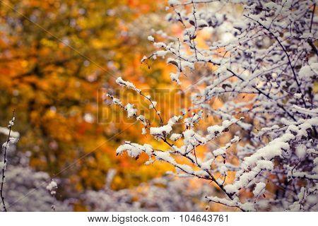Red berries under first snow. Autumn season