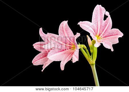 Closeup Amaryllis Flower And Water Drop