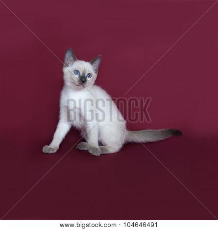 Thai White Kitten Sitting On Burgundy