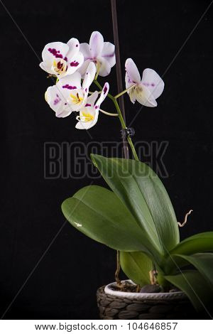 Detail of white orchid on a pot isolated on black