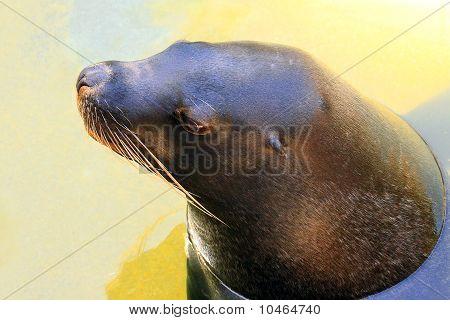 Australian Sea Lion - Neophoca Cinerea