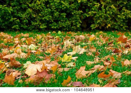 Fallen Leaves On The Green Grass