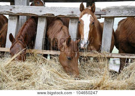 Purebred Horses Eating Hay Rural Scene