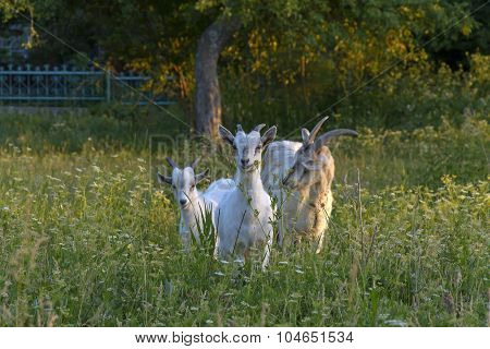 Goat And Goats