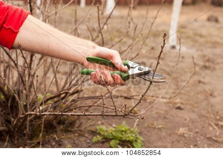 Gardener is cutting a currant with a pruner closeup