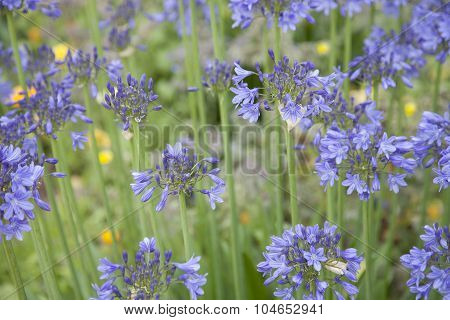 Agapanthus Flowers