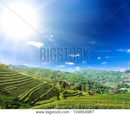 Tea plantation cultivation in northern Thailand highland hills of Chiang Rai