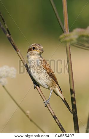 Portrait Of An Young Red-backed Shrike, Russia