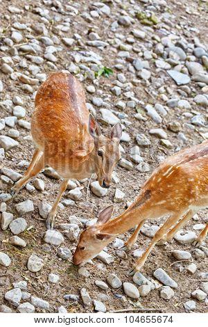 Young Deer In Their Natural Habitat.