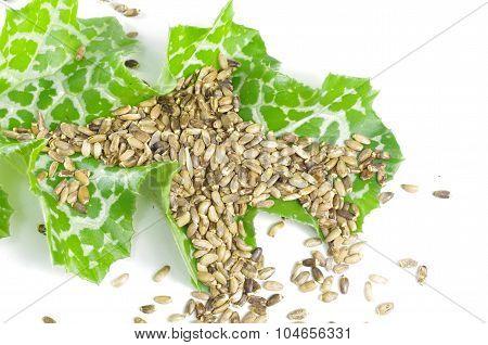 Herb Milk Thistle Silybum Marianum