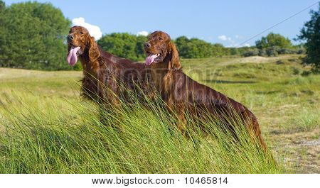 Two Irish Setter on hill.