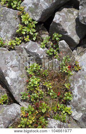 Lingonberry Or Cowberry (vaccinium Vitis-idaea)