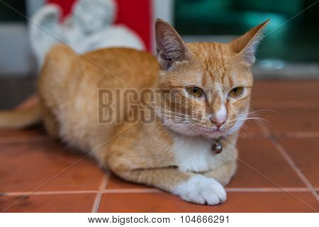 Young orange Ginger Cat